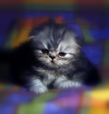 agenesia della coda nel gatto
